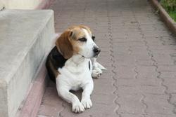 Vicky, chien Beagle