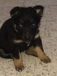 Vicky, chien Berger allemand