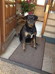 Vicky, chien Rottweiler