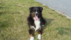 Vico, chien Berger australien