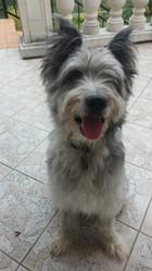 Vico, chien Berger des Pyrénées