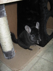Victor, rongeur Chinchilla