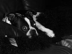Victor, chien Terrier de Boston
