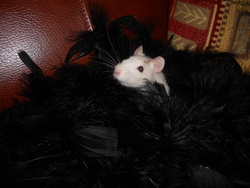 Victoire, rongeur Rat