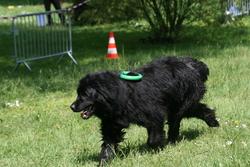 Victoire, chien Terre-Neuve