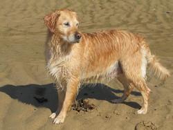 Victoire, chien Golden Retriever