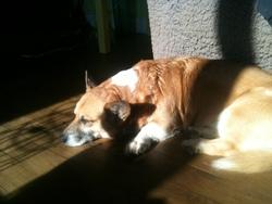 Victor, chien Welsh Corgi