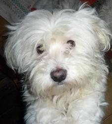 Victor, chien Bichon maltais