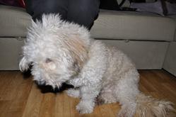 Victor, chien Bichon à poil frisé