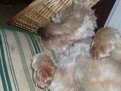 Victor, chien West Highland White Terrier
