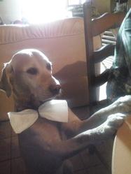 Victor, chien Labrador Retriever