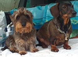 Victor, chien Teckel