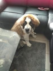 Victor, chien Saint-Bernard