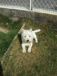 Victor Alias Titou, chien West Highland White Terrier