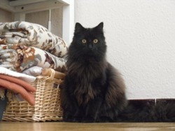 Victor - Chez Maman, chat Maine Coon