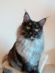 Victoria Amegeli, chat Maine Coon