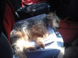 Victorine, chien Yorkshire Terrier