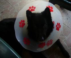 Vidock, chien