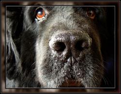 Vidocq, chien Terre-Neuve