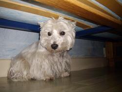 Vidocq, chien West Highland White Terrier