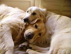 Viet-Sam, chien Golden Retriever