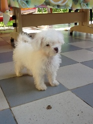 Viki, chien Caniche