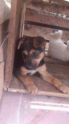 Viki, chien