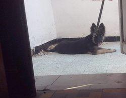 Viki, chien Berger allemand