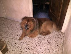 Viking, chien Chow-Chow