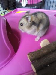 Villa, rongeur Hamster