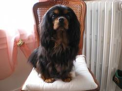 Villette De La Géode, chien Cavalier King Charles Spaniel