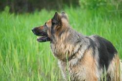Vince Du Clos De La Baltière, chien Berger allemand