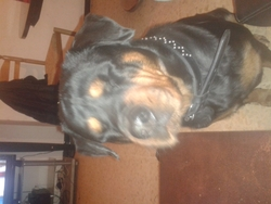 Vinka, chien Rottweiler