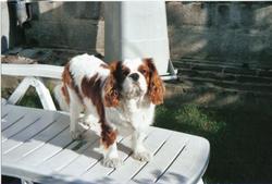 Vinnie, chien Cavalier King Charles Spaniel
