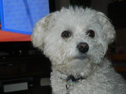 Vinnie, chien Bichon à poil frisé
