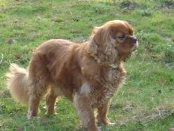 Vinny, chien Cavalier King Charles Spaniel