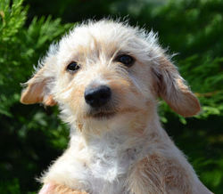 Violetta, chien Yorkshire Terrier