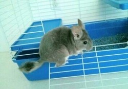 Violetta, rongeur Chinchilla