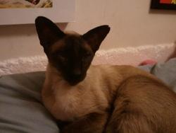 Violette, chat Siamois