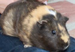 Violette, rongeur Cochon d'Inde