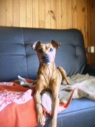 Violette, chien Pinscher