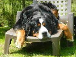 Violette, chien Bouvier bernois