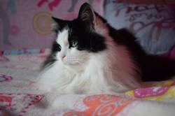 Violette, chat Norvégien