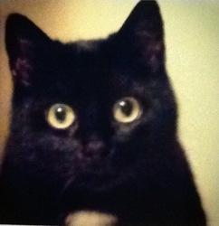 Violette, chat Européen