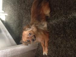 Violette, chien Chihuahua
