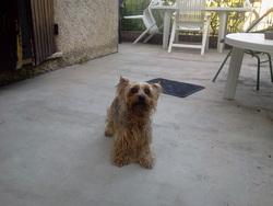 Violine, chien Yorkshire Terrier