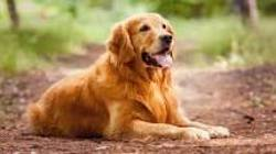 Viou, chien Golden Retriever