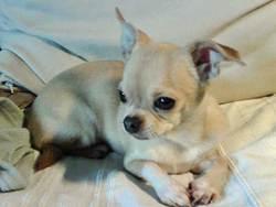 Vip, chien Chihuahua