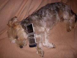 Viper, chien Yorkshire Terrier