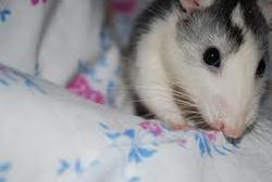Viper, rongeur Rat